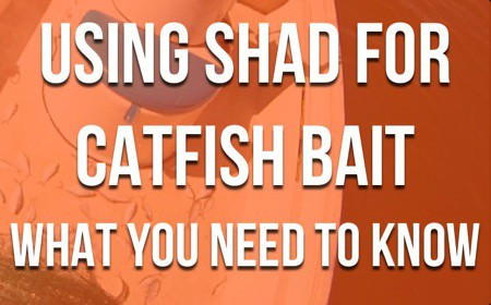 Shad For Catfish Bait: The Essential Guide For Catfishing