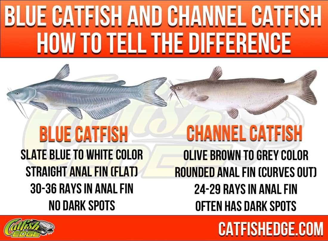 Catfish species essentials the big three types of catfish for What is the best time to fish