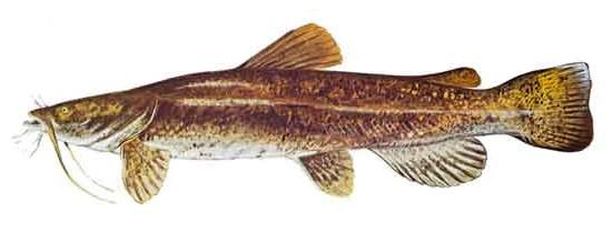 Flathead Catfish Illustration