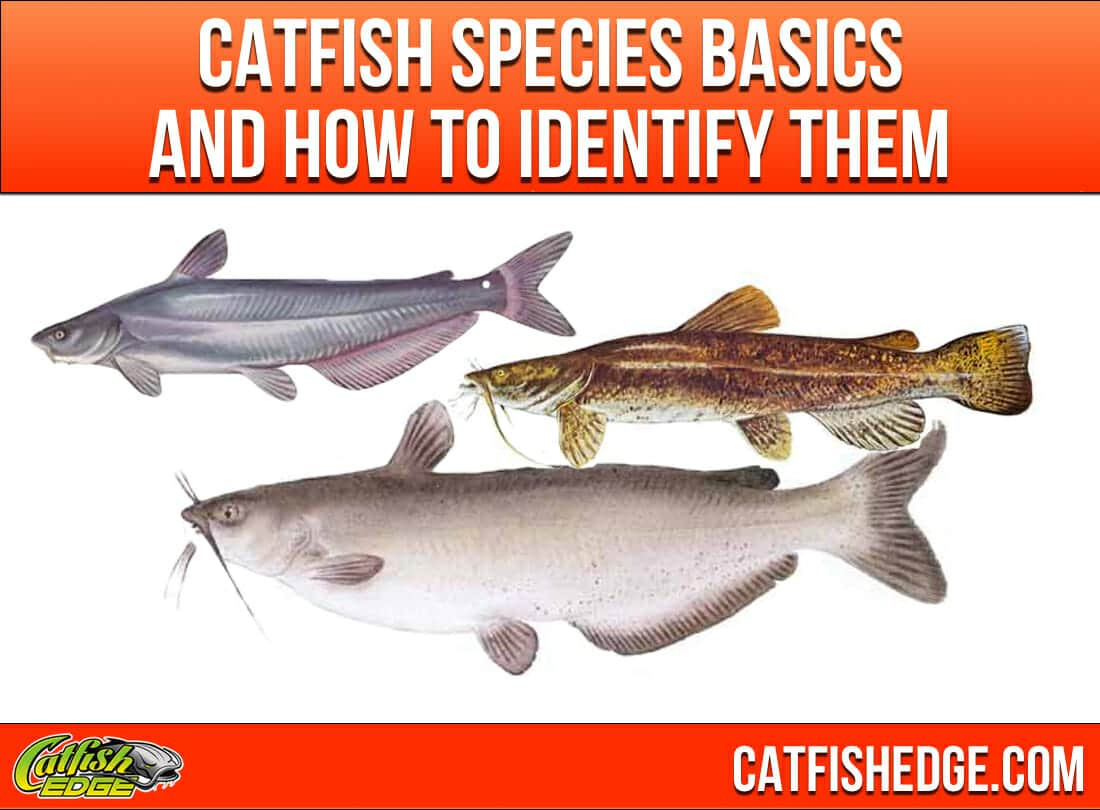 Catfish species essentials the big three types of catfish for Fish and more