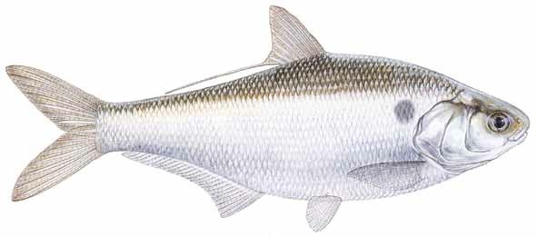Gizzard Shad Catfish Tips