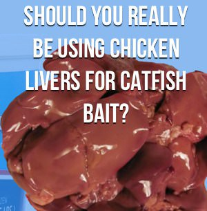 Should you really be using chicken livers for catfish bait for Fishing with chicken liver