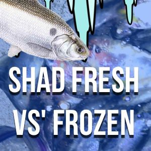 Frozen Shad For Catfish Bait? How To Freeze Shad and More!