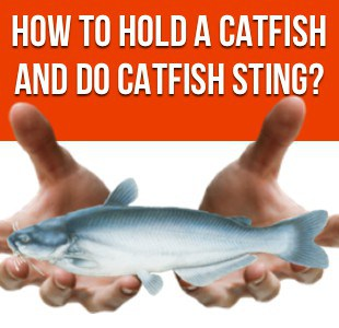 How To Hold a Catfish and Do Catfish Sting?