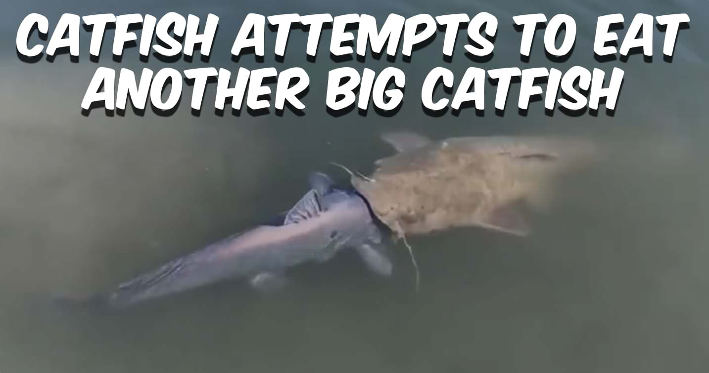 Flathead Catfish Eats Blue Catfish